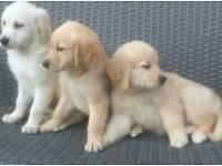 Golden retrieve puppies