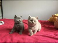 Spoiled British Shorthair Kittens