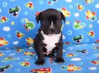 BUGG PUPPIES - Boston Terrier x Pug