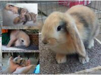Stunning lop eared baby rabbits / bunnies. Doe and buck avalible.