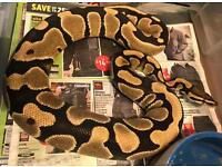 Female normal royal python