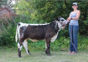 4h steer prospects