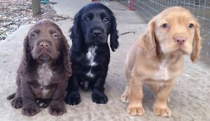 Cocker spaniel pups Midland Swan Area Preview
