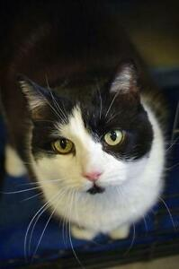 """Young Male Cat - Domestic Short Hair-black and white: """"Jasper"""""""