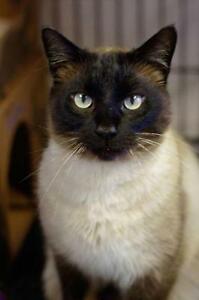 "Adult Male Cat - Siamese: ""Boots"""