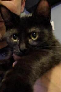 """Young Female Cat - Domestic Short Hair (Black): """"Misty"""""""