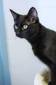 "Young Female Cat - Domestic Short Hair-black: ""Peanut"""