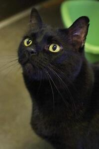 "Adult Male Cat - Domestic Short Hair-black: ""Rocky"""