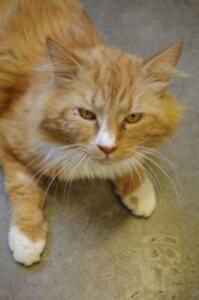 "Young Male Cat - Domestic Long Hair: ""Phoenix"""