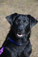 "Young Male Dog - Labrador Retriever-Shepherd: ""Wiley"""