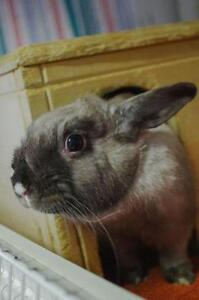 "Adult Female Rabbit - American: ""Merry"""