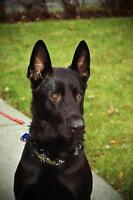 "Young Male Dog - German Shepherd Dog: ""Baron"""