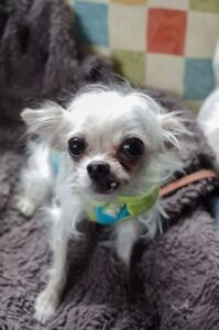 "Senior Male Dog - Chihuahua: ""Cash"""