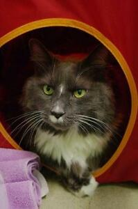 "Senior Male Cat - Maine Coon: ""Oscar & Fritz"""
