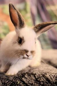 "Baby Female Rabbit - Bunny Rabbit: ""Momiji"""