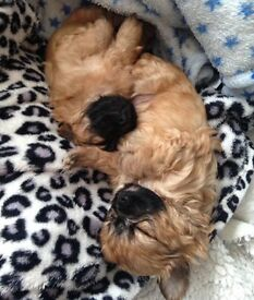beautiful chihuahua X yorkshire terrier puppies.