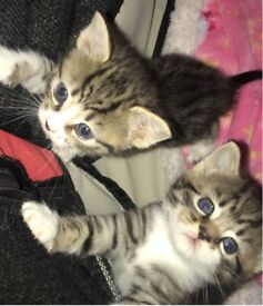 3 kittens left with everything in description