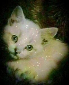 Purebred siamese female kitten dewormed defleaed friendly