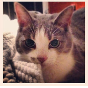 Lost cat - grey and white tabby
