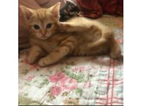beautiful ginger and brown tabby kittens!!