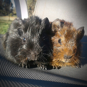 Male Baby Guinea Pigs For Sale Ganmain Coolamon Area Preview