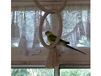 Beautiful baby red rump male parakeet.. He is now ready for his new home