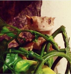 Crested Gecko - 3 years old *new price