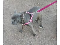 Blue Brindle Male - 6mths old