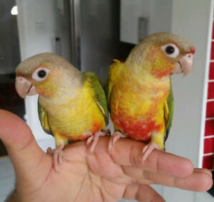 baby high red pineapple conure parrot friendly FOR SALE