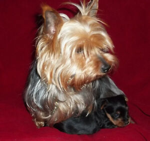 ***YORKIE BREEDER SELLING OUT DUE TO HEALTH REASONS***