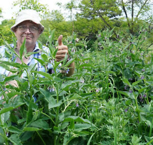 Bocking 14 strain - Russian Comfrey