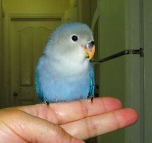 super tame BEAUTIFUL handfed baby lovebird==ON HOLD