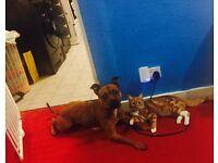 FEMALE RED staffy for sale 5YEARS old