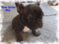 ***Ready Now*** Kc Reg French Bulldog Puppies
