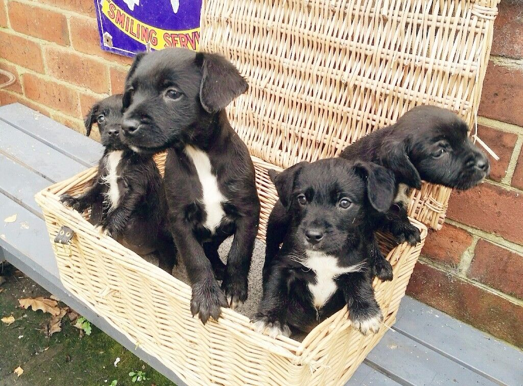 Cocker Spaniel puppies for sale x jack Russell. Ready now