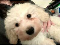 POOCHON PUPPIES FOR SALE (only 1 left)