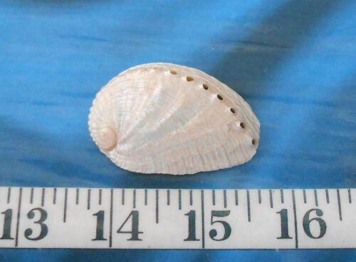 ~ Abalone Haliotis diversi Shell ~ Pink-Ivory ~Shellcraft ~ Sailor