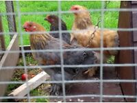 Three Young Male Bantam Chickens ,Brahma and Brahma Cross (Free)