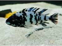 Neochromis Omnicaerulus malawi cichlid