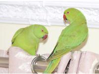 Baby green Ringneck talking parrots