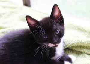 Audrey RESCUE kittens available for ADOPTION vet work INC Craigie Joondalup Area Preview