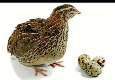 6 Jumbo Brown Quail Hatching Eggs - Fresh Fertile Speedy Shipping.