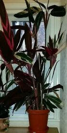 Rare red pray plant 5ft tall