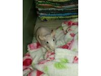 2 male hairless/fuzzy rats for sale
