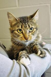 Young Female  - Domestic Short Hair (Brown)-Tabby (Brown)