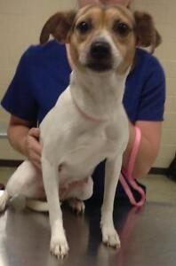 Adult Female  - Jack Russell Terrier (Parson)