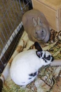 "Adult Male Rabbit - American: ""Luke and Hopper"""
