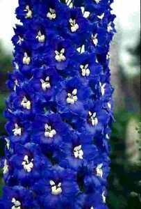 Delphinium x cultorum Magic Fountain Dark Blue/White x 6 jumbo plug plants