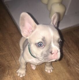 FRENCH BULLDOGS FOR SALE LILCA/LILCA FAWNS