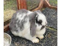 Mini Lop female/doe for sale/adoption